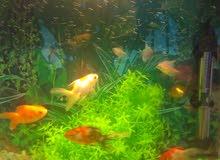 للبيع حوض سمك كامل بالاسماك بسلوى