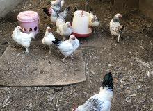 بيع دجاج فرنسي