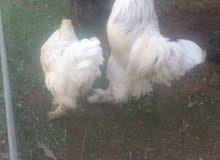 دجاج براهما نخب بسعر مغري