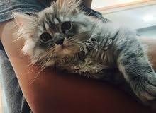 قطه شيرزايه للبيع