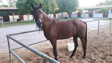 حصان عربي فحل