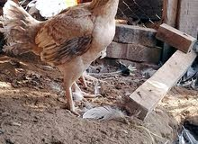 للبيع دجاجه باكستانيه