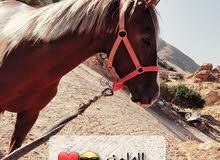 حصان نص ع نص عمره 4 سنين