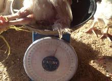 دجاج اللحم الابيض