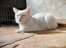قطة شيرازي كل عين لون