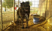 كلبه انثى نوع جيرمان بلاك على قوقازي