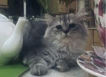 قط شيرازي للبيع في الرياض