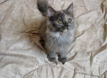 بيع قطة شيرازية بيور