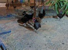 دجاج بري بياض