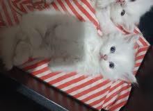 للبيع 3 قطط صغيرة