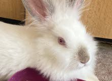 ingoora rabbit for sale