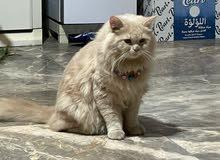 قط شيرازي العمر سنه