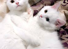 قطط مكس شيرازي انغورا  ذكر و انثى بعمر ثلاث اشهر