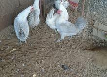 دجاج فيومي المنيوم