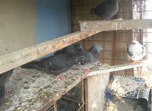 طيور لوت للبيع