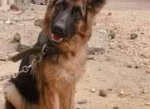 كلب جيرمن بيور للبيع