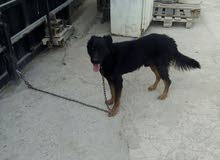 كلب جيرمن شيبرد لون اسود عمر 7شهور قابل للمفاوظه