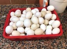 بيض عماني طازج للبيع