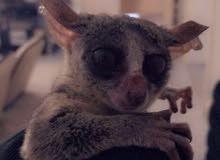 حيوان الجلاجو /من القرود الصغيرة
