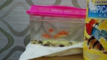 اربع سمكات gold fish