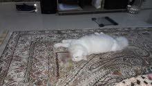 قط شيرازى ابيض زكر يريد التزاوج من قطة بيضاء مجانا