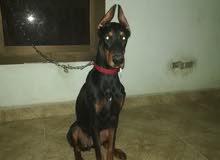 كلبة دوبر مان للبيع بنت أهالي مستوردة