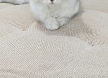 cat for sale pure chincilla breed