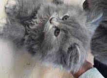 قطة انثى عمر 5 شهور للبيع