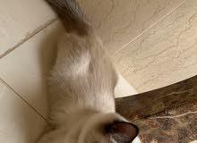 قطة هملايا ( العمر 4 شهور )( انثى)
