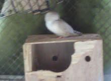 طيور الزيبرا زوج جامبو للبيع