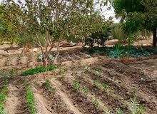 مزرعه 47 فدان ملك مسجل ري بحاري مستمر طوال العام