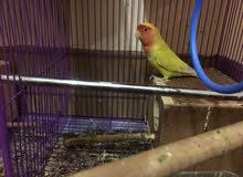 beautiful 2 Pairs of rose Parrots
