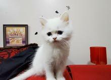 قطه شيرازي للبيع عمرها شهرين