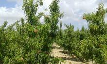 مزرعه 40 فدان ملك مسجل ري نيلي مشجرة