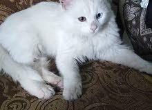 قط شيرازي أنثى صغير عمر شهر بيور بتجننن