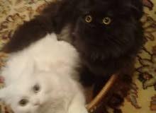 قطط نوع شيرازي فارسي