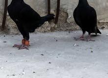 جوز جلوف شغالات للبيع او البدل ع طيور حمام