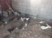 دجاج عربي للبيع عتاتيق وصراديك