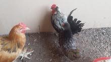 للبيع زوج دجاج بوليش