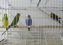 طيور حب للبيع بالخبر
