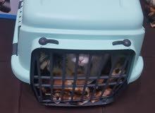 قطة انثى شيرازي ثلاث اشهر مع اغراضها
