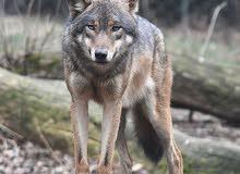 محتاج انثئ ذئب
