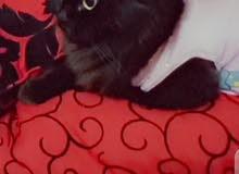 قطه انثئ شيرازي