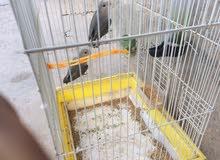 طيور نوع بركديلوا
