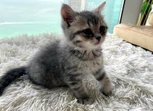British female cat, half a month old