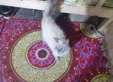 هملايا جكليتي عمرها سنه 3شهر
