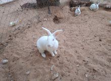 أرانب للبيع(4اناث1ذكر مالطيات)