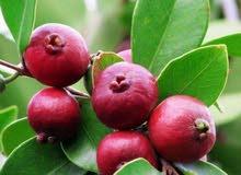 شتلات فاكهة نادرة