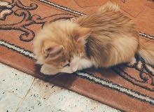قط فارسي ذكر
