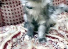 قطه شيرازي انثي اعمرها 3شهور